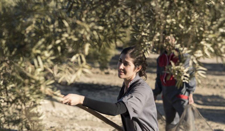 The tradition of the Olive harvest in Tuscany