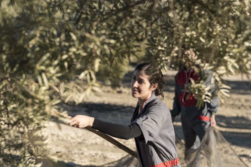 Woman collecting olives