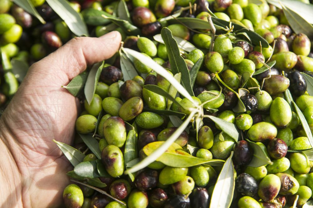 Hands with freshly collected olives | Tuscan wanders travel blog