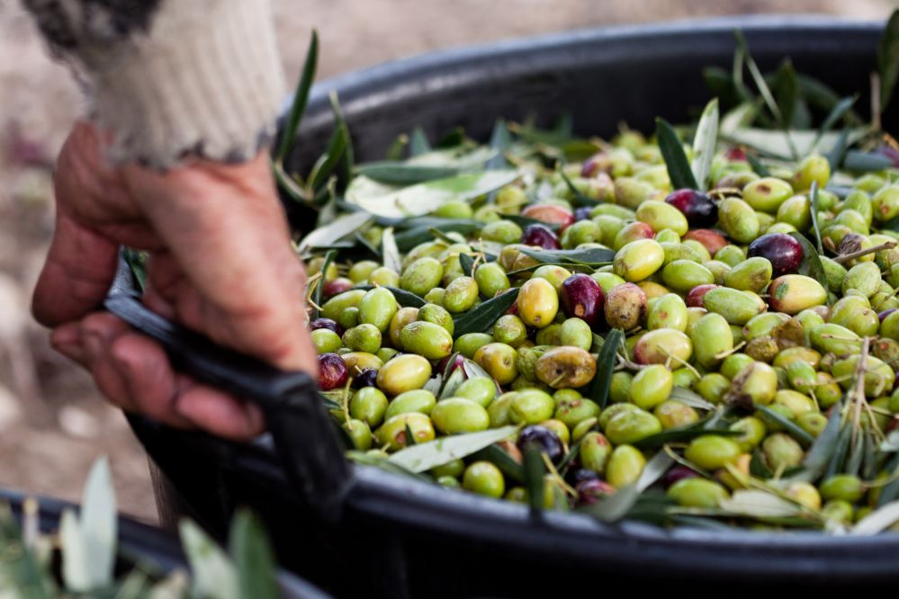 Olives in a basket after the harvest | Tuscan Wanders travel blog