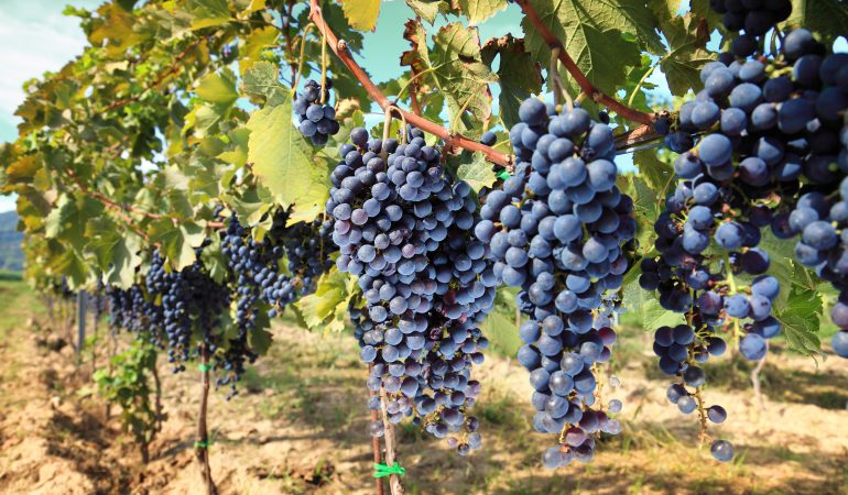 Grapes of Sangiovese in a vineyard