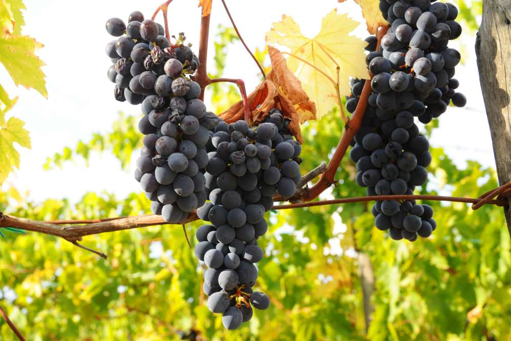 Chianti Sangiovese grapes | What is Chianti classico
