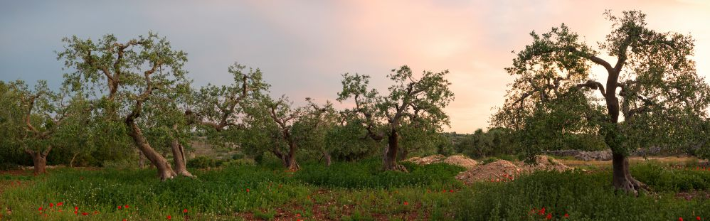 Olive trees in the late evening