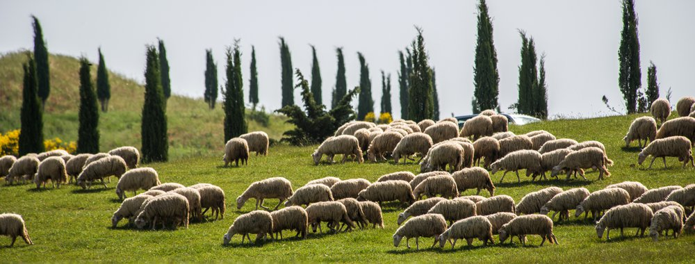 Sheeps in Val d'Orcia