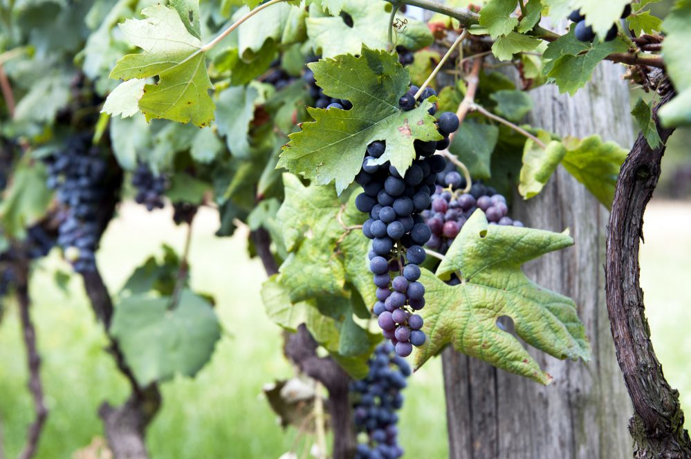 A bunch of Sangiovese grapes