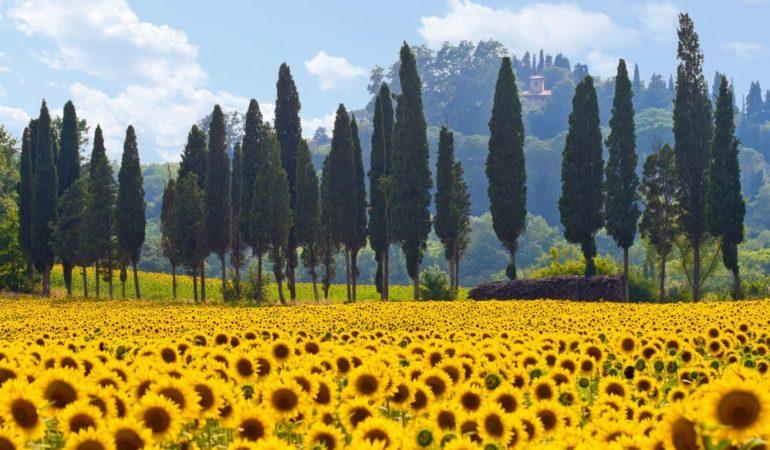 When Do Sunflowers Bloom in Italy?